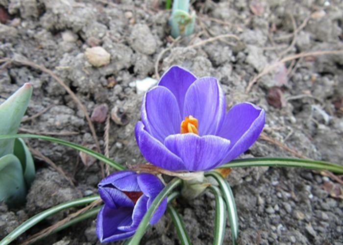 藍紫色的番紅花