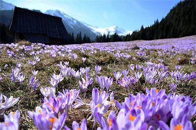 波兰扎科帕内附近的塔特拉山上番红花盛开