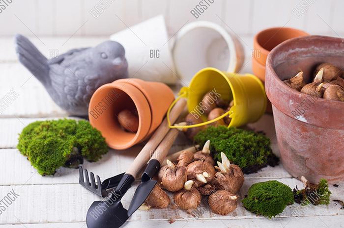 番红花球茎和园艺工具