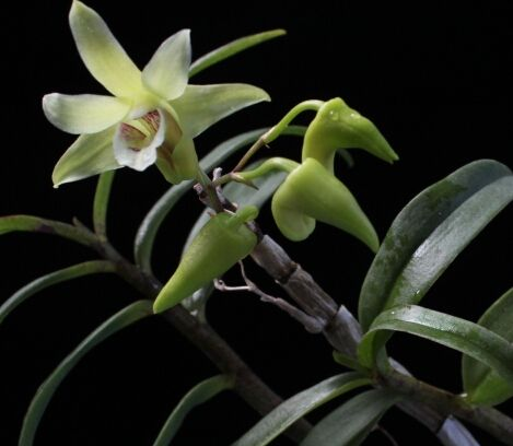 黃草石斛植株開花