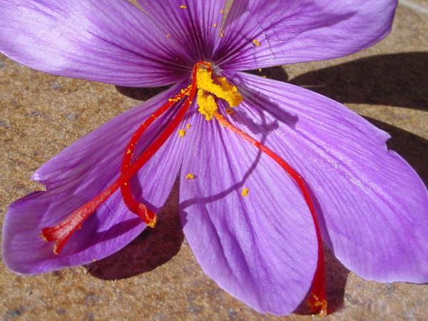 藏红花花朵和三根雌蕊柱头