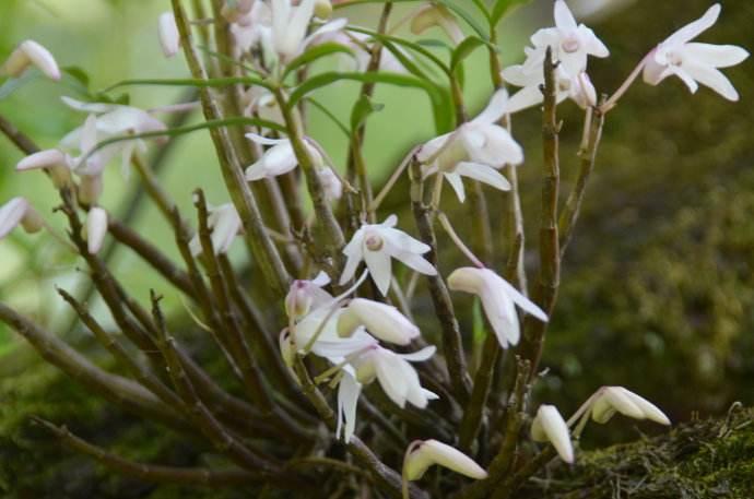 銅皮石斛開花
