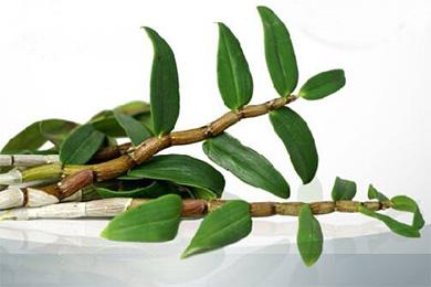 鐵皮石斛葉子可以吃嗎?