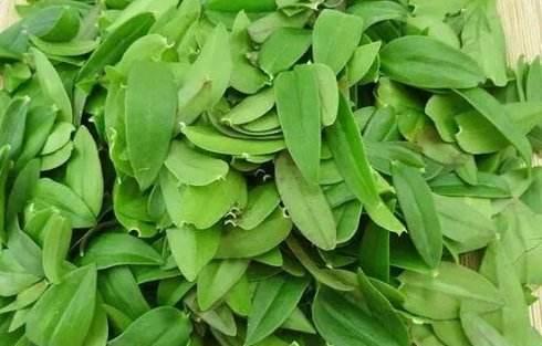 新鲜的铁皮石斛叶子