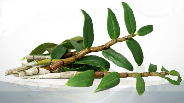 鐵皮石斛莖和葉