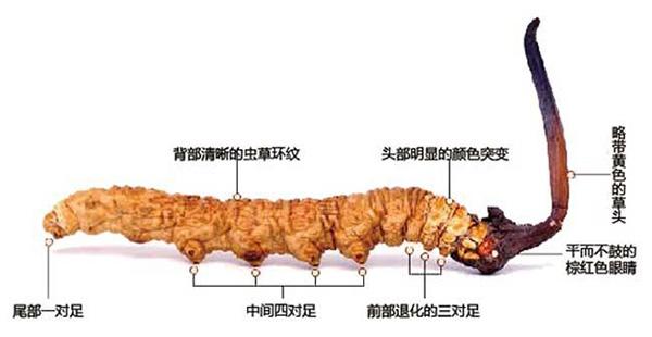 冬蟲夏草鑒別圖