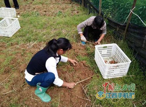 江西省上饒市萬年縣花農收獲藏紅花球莖
