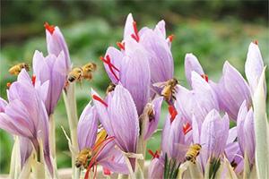 藏红花的功效与作用及禁忌