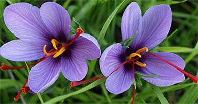 西红花和藏红花的区别